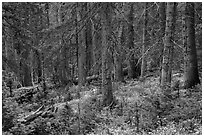 Forest in autumn. Great Sand Dunes National Park and Preserve ( black and white)