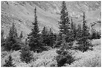Firs, shrubs in autumn color, and rocky slopes. Great Sand Dunes National Park and Preserve ( black and white)