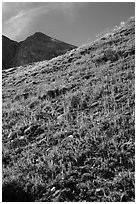 Berry plants in red autumn foliage and peak. Great Sand Dunes National Park and Preserve ( black and white)