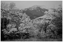 Aspen in autum foliage framing Mount Herard at dawn. Great Sand Dunes National Park and Preserve ( black and white)