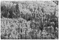 Golden aspen groves on slope. Great Sand Dunes National Park and Preserve ( black and white)