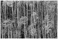 Hillside with trunks of aspen in autum. Great Sand Dunes National Park and Preserve ( black and white)