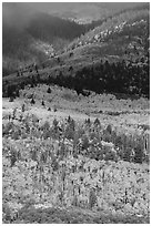 Slopes below Mt Herard with trees in autum color. Great Sand Dunes National Park and Preserve ( black and white)