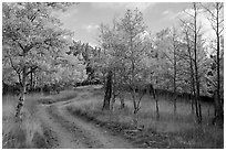 Gravel road through trees in autumn foliage, Medano Pass. Great Sand Dunes National Park and Preserve ( black and white)
