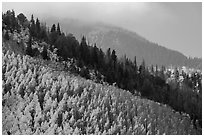 Aspen and firs on slope. Great Sand Dunes National Park and Preserve ( black and white)