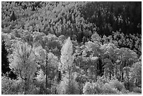 Hillside covered with trees in colorful autumn foliage. Great Sand Dunes National Park and Preserve ( black and white)
