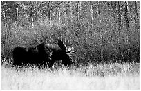 Bull moose out of forest in autumn. Grand Teton National Park, Wyoming, USA. (black and white)