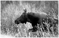 Cow moose running. Grand Teton National Park, Wyoming, USA. (black and white)