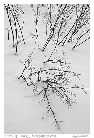 Bare shrub branches and snow. Grand Teton National Park (black and white)