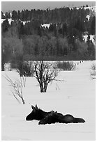 Sleepy moose in winter. Grand Teton National Park, Wyoming, USA. (black and white)