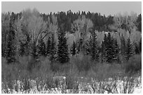 Colorful willows, evergreens, and cottonwoods in winter. Grand Teton National Park ( black and white)