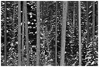 Pine tree trunks and snowy forest. Grand Teton National Park ( black and white)