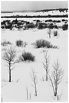 Bare trees and shurbs, frozen Jackson Lake. Grand Teton National Park ( black and white)