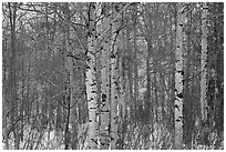Aspen forest in winter. Grand Teton National Park, Wyoming, USA. (black and white)