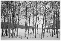 Aspen grove, Willow Flats, winter. Grand Teton National Park, Wyoming, USA. (black and white)