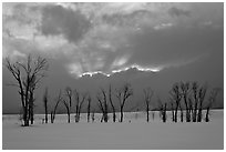 Winter sunset with snow and cottonwoods. Grand Teton National Park ( black and white)