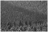 Snowy forest on mountainside. Grand Teton National Park ( black and white)