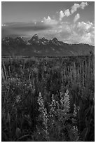 Lupine, Arrowleaf Balsam Root, and Tetons from Antelope Flats. Grand Teton National Park ( black and white)