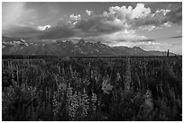 Lush wildflowers and Tetons from Antelope Flats. Grand Teton National Park ( black and white)