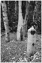 Aspen tree chewed and downed by beavers. Grand Teton National Park ( black and white)