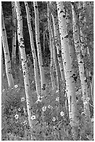 Sunflowers, lupines and aspen forest. Grand Teton National Park, Wyoming, USA. (black and white)
