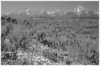 Wildflowers and Teton range, morning. Grand Teton National Park ( black and white)