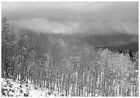 Aspens and snow. Colorado, USA (black and white)