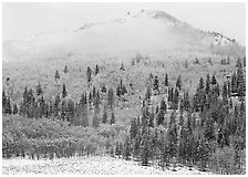 Yellow aspens and conifers in snow and fog. Rocky Mountain National Park, Colorado, USA. (black and white)