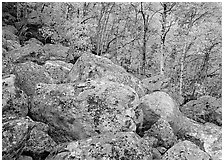 Lichen-covered boulders and yellow aspens. Rocky Mountain National Park, Colorado, USA. (black and white)
