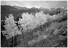 Aspens in bright yellow foliage and mountain range in Glacier basin. Rocky Mountain National Park, Colorado, USA. (black and white)