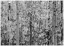 Aspens in autumn color with early  snowfall. Rocky Mountain National Park, Colorado, USA. (black and white)