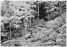 Boulders and aspens with yellow leaves. Rocky Mountain National Park, Colorado, USA. (black and white)