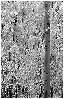 Aspens in fall foliage and snow. Rocky Mountain National Park, Colorado, USA. (black and white)