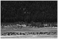 Elk Herd. Rocky Mountain National Park ( black and white)
