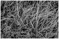 Close-up of grasses with dew. Rocky Mountain National Park, Colorado, USA. (black and white)