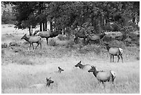 Elk herd and trees. Rocky Mountain National Park ( black and white)
