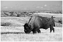 Bison grazing in  prairie. Theodore Roosevelt National Park, North Dakota, USA. (black and white)