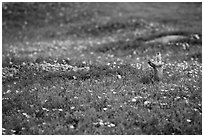Prairie dog in meadow carpeted with flowers. Theodore Roosevelt National Park, North Dakota, USA. (black and white)