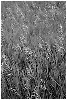 Tall grasses in summer, Elkhorn Ranch Unit. Theodore Roosevelt National Park, North Dakota, USA. (black and white)