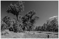 Old cottonwoods, and Elkhorn Ranch site fence. Theodore Roosevelt National Park, North Dakota, USA. (black and white)