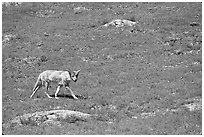 Coyote roaming in  prairie dog town, South Unit. Theodore Roosevelt National Park, North Dakota, USA. (black and white)