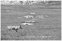 Coyote and  prairie dog burrows, South Unit. Theodore Roosevelt National Park, North Dakota, USA. (black and white)