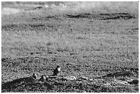 Prairie Dogs look out cautiously, South Unit. Theodore Roosevelt National Park, North Dakota, USA. (black and white)