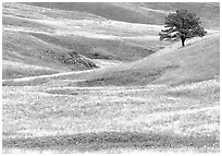 Grassy hills and tree. Wind Cave National Park, South Dakota, USA. (black and white)