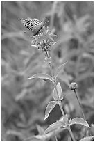 Butterfly on horsemint flower (Monarda fistulosa, Lamiaceae). Wind Cave National Park, South Dakota, USA. (black and white)