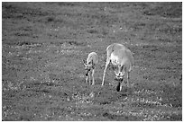 Pronghorn Antelope cow and calf. Wind Cave National Park, South Dakota, USA. (black and white)