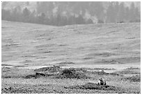 Prairie Dog town. Wind Cave National Park, South Dakota, USA. (black and white)
