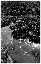Ice on a small lake. Yellowstone National Park ( black and white)
