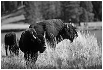 Pictures of Bisons