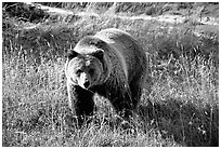 Grizzly bear. Yellowstone National Park, Wyoming, USA. (black and white)